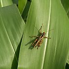 Grasshopper on corn leaf by Stephen Thomas