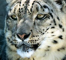 Snow Leopard by ANWPhotography