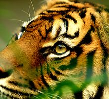 Sumatran Tiger by HowieP