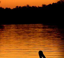 Australian pelican by HowieP