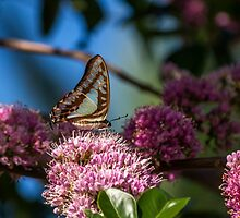 Pale Triangle Butterfly, Wings Closed by JLOPhotography