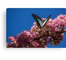 Pale Triangle Butterfly, Wings Open Canvas Print