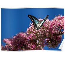 Pale Triangle Butterfly, Wings Open Poster