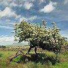 Hawthorn and Ingleborough by Richard Ion