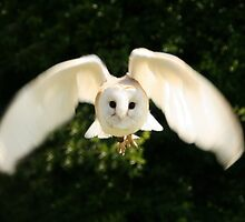 Barn Owl by Designcat