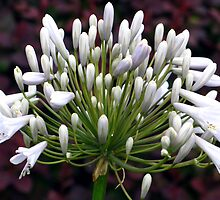 Agapanthus bloom by naturalimages