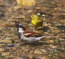 Sparrow Bathing in a Stream by Dreambarks