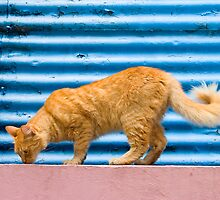 Cat of La Boca by bongo