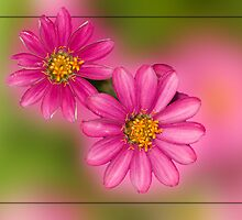 Pink Zinnias  by Bonnie T.  Barry