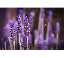 Amongst the Lavender Photographic Print