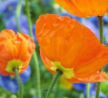 orange poppies by allieart