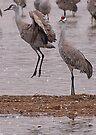 Courtship of the Sandhill Cranes by Dawne Olson