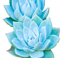 Blue Succulents by Padme Nowland