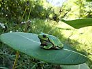 Gorgeously Hefty Tree Frog on Leaf in the Forest - Nature Photography by Barberelli by Barberelli