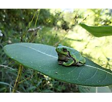 Gorgeously Hefty Tree Frog on Leaf in the Forest 2 - Nature Photography by Barberelli Photographic Print