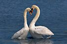 Swans in Love by Krys Bailey