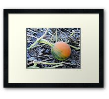 Mini Green and Orange Pumpkin at the Pumpkin Patch Field - Nature Photography by Barberelli  Framed Print