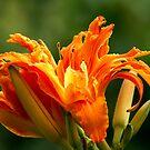 Tripple Lily Joy by velveteagle