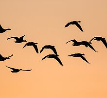 Geese at Sunset by Ashley Beolens