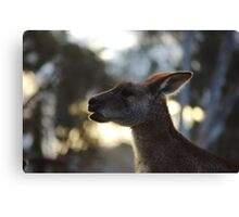 Old man roo Canvas Print