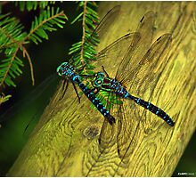 Dragon Fly Boogie Photographic Print