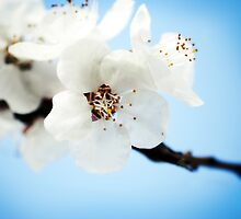 Blossom Clouds by StarlingPhotos