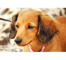 Miniature Long-Haired Dachsund Photographic Print