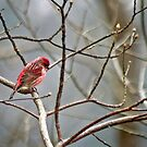 Common House Finch by Eileen McVey
