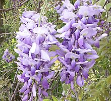 Wisteria Blooms by Marcella Babineaux