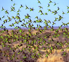 Budgerigar flight by helmutk