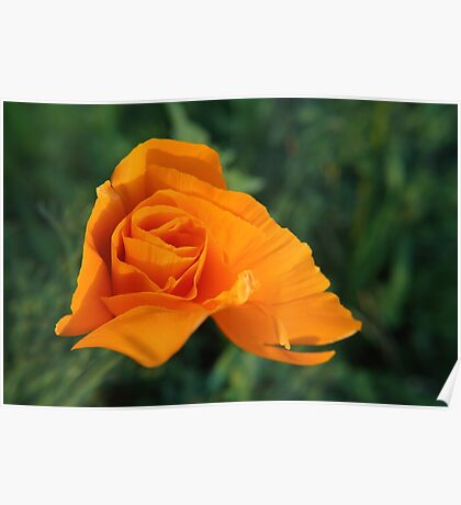 orange japanese wild flower Poster