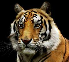 tiger by melynda blosser