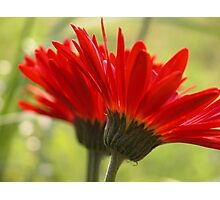 Two Daisies Are Better Than One! Photographic Print