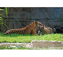 Tiger and Babies at play Photographic Print