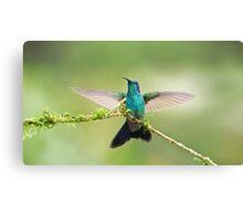 Green Violet-Ear Hummingbird Canvas Print