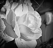 White Iceberg Rose by Maggiebee