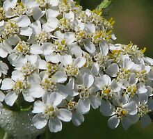 white blossoms by ABerry