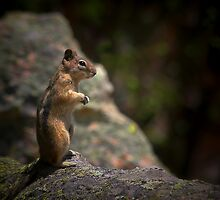 Golden Mantled Ground Squirrel Living Up To Its Name  by Christine Till  @    CT-Graphics