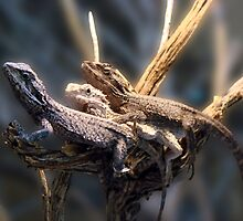 Western Bearded Dragon - Naturaliste Reptile Park by Coralie Plozza