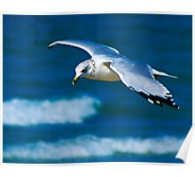 Seagull over beach at Inverhuron Poster