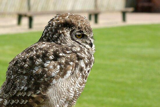 Sleepy Owl by Trevor Kersley