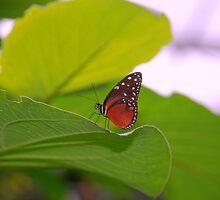 Butterfly by Furlong