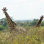 Masai Giraffe Baby and Mother by Steven Bassion