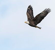 American Bald Eagle 2015-12 by Thomas Young