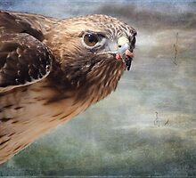 Red Tailed Hawk by Barbara Manis
