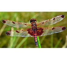 Dragonfly (Red) Photographic Print