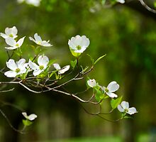 Dogwood Pretties by jselliott