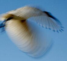 Ibis in Motion by myraj