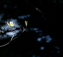 Dogwood Day and Night by jselliott