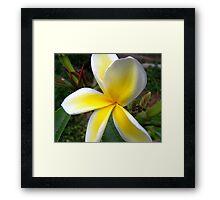 Plumeria - Sweet Fragrance III Framed Print